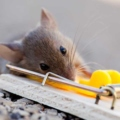 Put a mousetrap? 5 Tips for Using Mouse Traps